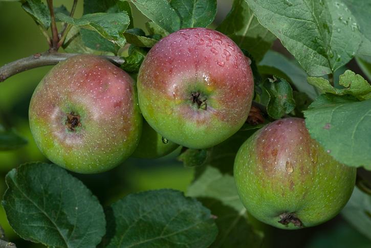 Äpfel vor der Ernte