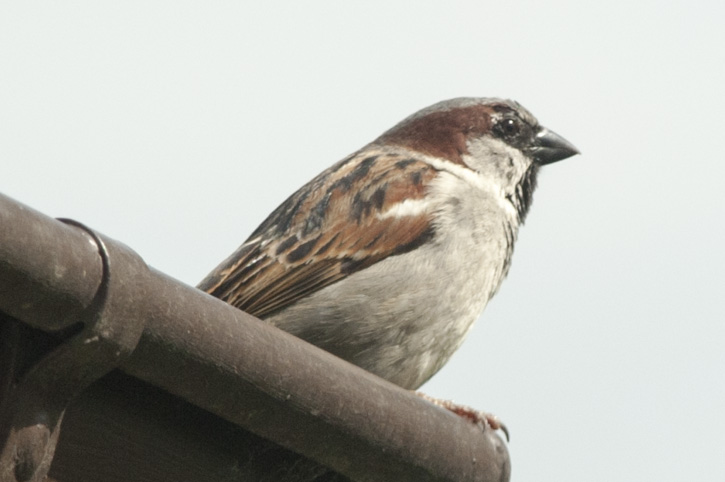 Passer domesticus – der Haussperling